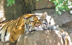 Fondo de pantalla tigre descansando