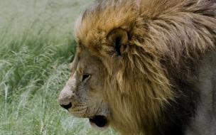 Fondo de pantalla leon caminando