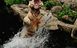 Fondo de pantalla tigre en el agua