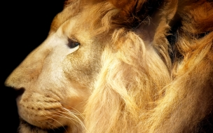 High resolution animals lion
