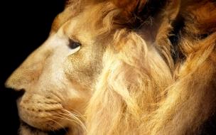 High resolution animals lion