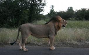 Fondo de pantalla león en carretera
