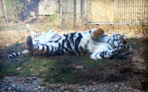 Fondo de pantalla tigre jugando