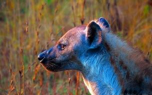 Fondo de pantalla hiena esperando