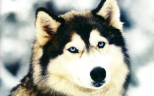 Fondo de pantalla perro lobo en la nieve