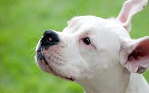 Fondo de pantalla perro con las orejas paradas