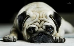 Fondo de pantalla perro bulldog acostado