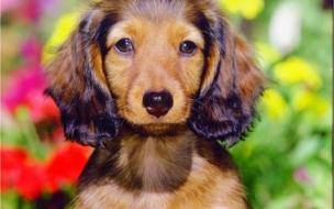 Fondo de pantalla perro orejon
