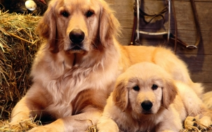 Fondo de pantalla golden retriever