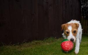 Fondo de pantalla perro con una pelota