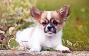 Fondo de pantalla perro chiguagua