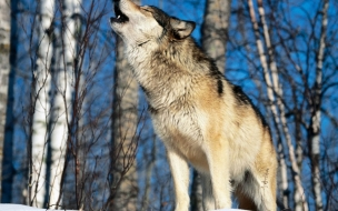 Fondo de pantalla lobo solitario