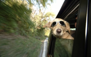 Fondo de pantalla perro paseando en carro