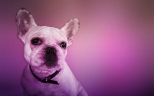 Fondo de pantalla perro mirando atento