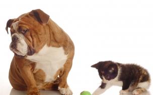 Fondo de pantalla perro Bulldog junto a un gato