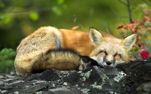 Fondo de pantalla zorro durmiendo
