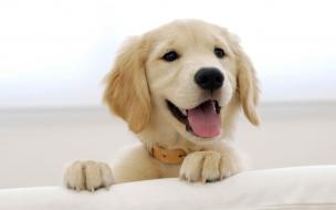 Fondo de pantalla perro labrador jugando