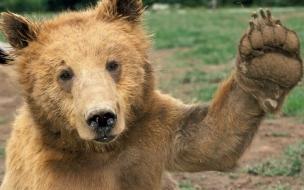 Fondo de pantalla oso pardo