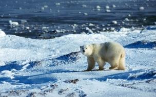 Fondo de pantalla oso polar caminando
