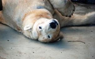 Fondo de pantalla oso polar mojado