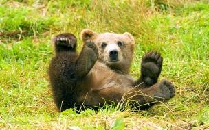 Fondo de pantalla oso grizzly jugando