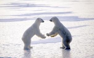 Fondo de pantalla Osos polares jugando
