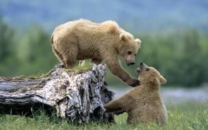 Fondo de pantalla osos pardos jugando