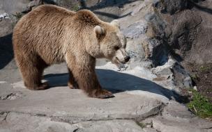 Fondo de pantalla oso pardo caminando