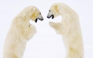 Fondo de pantalla osos polares parados