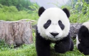 Fondo de pantalla oso panda bebe