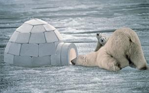 Fondo de pantalla oso polar buscando comida