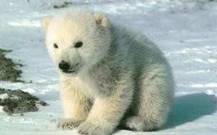 Fondo de pantalla oso polar bebe