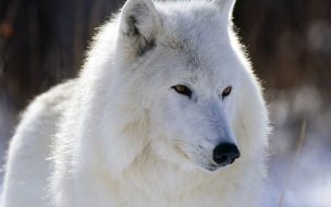 Fondo de pantalla lobo siveriano