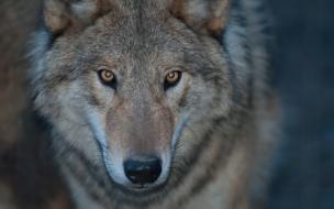 Fondo de pantalla lobo salvaje