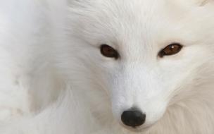 Fondo de pantalla lobo blanco Siveriano