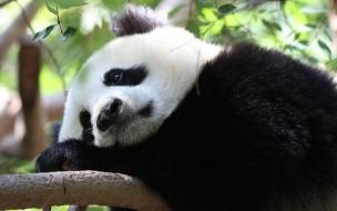 Fondo de pantalla Oso panda triste