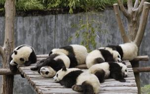 Fondo de pantalla ositos panda bebes