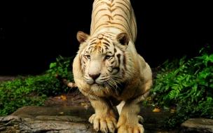 Fondo de pantalla tigre bengala