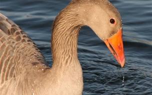 pato en laguna