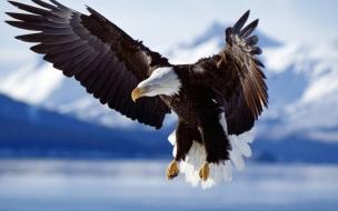 Aguila calva volando