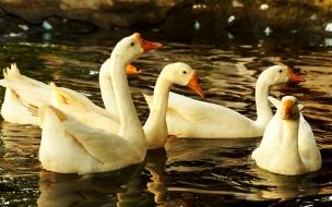 patos blancos en el agua