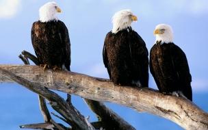 Aguilas calva en tronco