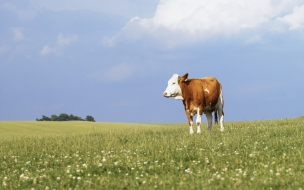 vaca en campo