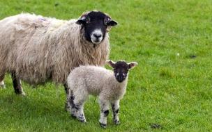 ovejas mirando