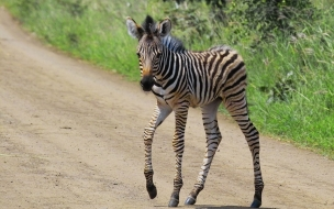 zebra pequeña caminando