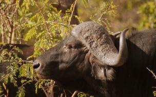 bufalo hambriento