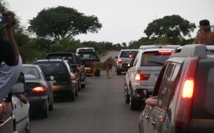 leon en la carretera