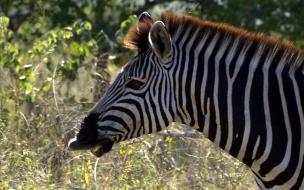 zebra comiendo
