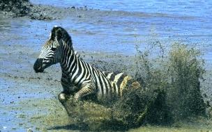 Zebra corriendo