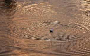 patito en el agua